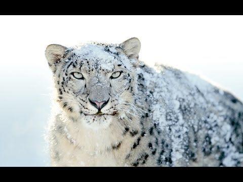 Donde habita el leopardo de las nieves; Que saber sobre el leopardo de las nieves; Donde vive el leopardo de las nieves en Rusia
